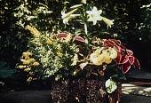 view [Greystone]: lilies, coleus. digital asset: [Greystone] [slide] lilies, coleus.