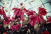 view [Greystone]: poinsettias. digital asset: [Greystone] [slide] poinsettias.