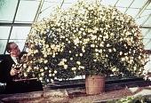 view [Greystone]: yellow daisies. digital asset: [Greystone] [slide]: yellow daisies.