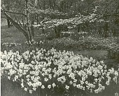 view [Kenneth D. Smith Gardens]: narcissus underplanting dogwoods. digital asset: [Kenneth D. Smith Gardens] [photoprint]: narcissus underplanting dogwoods.