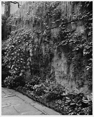 view [Stevens Garden]: wall covered with climbing plants. digital asset: [Stevens Garden] [safety film negative and photographic print]: wall covered with climbing plants.