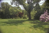 view [Avondale Farm]: view looking south to large maple with Rhododendron roseum elegans. digital asset: [Avondale Farm]: view looking south to large maple with Rhododendron roseum elegans.: 2003 Jun.