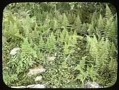 view [Ferncote]: hay-scented fern, Dennstaedtia punctilobula. digital asset: [Ferncote]: hay-scented fern, Dennstaedtia punctilobula.: [1930?]
