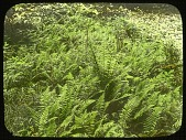 view [Ferncote]: New York fern, Dryopteris noveboracensis. digital asset: [Ferncote]: New York fern, Dryopteris noveboracensis.: [1930?]