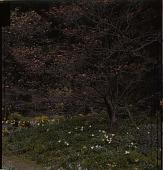 view [Ferncote]: walled garden in spring. digital asset: [Ferncote]: walled garden in spring.: [1930?]