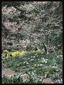 view [Ferncote]: walled garden in springtime. digital asset: [Ferncote]: walled garden in springtime.: [1930?]