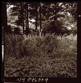 view [Unidentified Garden in Armonk, New York, No. 2]: heuchera, daylilies, and ferns, with woodlands beyond. digital asset: [Unidentified Garden in Armonk, New York, No. 2] [photonegative]: heuchera, daylilies, and ferns, with woodlands beyond.