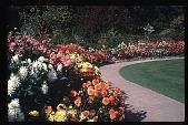 view [Boxly]: garden border featuring chrysanthemums. digital asset: [Boxly]: garden border featuring chrysanthemums.: 1974 Sep.