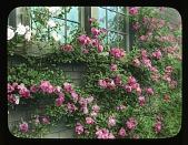 view [Breeze Hill]: garden wall covered by roses (climbing Orleans). digital asset: [Breeze Hill] [lantern slide]: garden wall covered by roses (climbing Orleans).