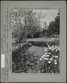 view [Breeze Hill]: two flower beds of tulips, flowering tree, and wooden fence in background. digital asset: [Breeze Hill] [photographic print]: two flower beds of tulips, flowering tree, and wooden fence in background.