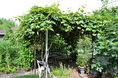 view [Macchione Italian Garden]: the grape vines and neighboring fig tree are supported by old pipes. digital asset: [Macchione Italian Garden]: the grape vines and neighboring fig tree are supported by old pipes.: 2012 Jul.