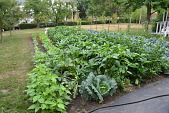 view [Macchione Italian Garden]: beans, peppers, tomatoes on bamboo stakes and fruit trees in summer. digital asset: [Macchione Italian Garden]: beans, peppers, tomatoes on bamboo stakes and fruit trees in summer.: 2012 Jul.