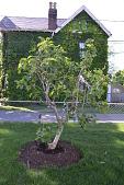 view [Macchione Italian Garden]: the white fig tree in spring. digital asset: [Macchione Italian Garden]: the white fig tree in spring.: 2012 May.