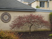view [Flaherty]: a mosaic tile rounded from a Jordanian workshop for the disabled echos the pruned shape of a Japanese maple. digital asset: [Flaherty]: a mosaic tile rounded from a Jordanian workshop for the disabled echos the pruned shape of a Japanese maple.: 2015 Apr.