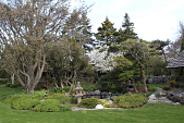 view [Wildacre]: the pond garden in spring with a Mt. Fuji cherry tree in bloom. digital asset: [Wildacre]: the pond garden in spring with a Mt. Fuji cherry tree in bloom.: 2014 May.