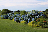 view [The Whim]: the underplanting contrasts with the blue hydrangea. digital asset: [The Whim]: the underplanting contrasts with the blue hydrangea.: 2010 Jun.