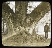 view [Middleton Place]: man standing by the trunk of an oak tree. digital asset: [Middleton Place]: man standing by the trunk of an oak tree.: [between 1914 and 1949?]