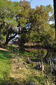 view [Mulberry Plantation]: indigenous cypress knees grow along a 19th century hand-dug canal. digital asset: [Mulberry Plantation]: indigenous cypress knees grow along a 19th century hand-dug canal.: 2010 Apr.