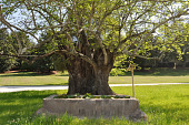 view [Mulberry Plantation]: the oldest mulberry tree next to a horse trough planted with water lilies. digital asset: [Mulberry Plantation]: the oldest mulberry tree next to a horse trough planted with water lilies.: 2010 Apr.