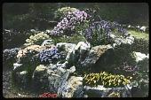 view [Royal Botanic Garden Edinburgh]: close-up view of a rock garden. digital asset: [Royal Botanic Garden Edinburgh]: close-up view of a rock garden.: [between 1915 and 1935]