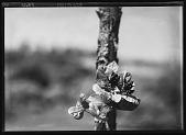 view [Miscellaneous Trees, Shrubs and Plants]: Byttneria florida. digital asset: [Miscellaneous Trees, Shrubs and Plants] [glass negative]: Byttneria florida.