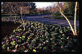 view [Dallas Arboretum and Botanical Garden]: ornamental grasses and pansies. digital asset: [Dallas Arboretum and Botanical Garden]: ornamental grasses and pansies.: 1996 May.