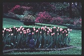 view [Dogwoods]: facing west, looking across the shaped bed of tulips toward the azalea-bordered area. digital asset: [Dogwoods]: facing west, looking across the shaped bed of tulips toward the azalea-bordered area.: 1986.
