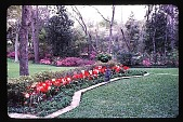 view [Dogwoods]: facing north, looking from the driveway past tulips to the lawn area and azaleas. digital asset: [Dogwoods]: facing north, looking from the driveway past tulips to the lawn area and azaleas.: 1985.