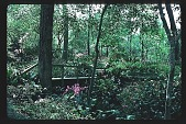 view [Dogwoods]: facing north from the edge of the fish pond bordered with native plants to a rustic wooden bridge over the ravine. digital asset: [Dogwoods]: facing north from the edge of the fish pond bordered with native plants to a rustic wooden bridge over the ravine.: 1986.