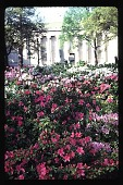 view [The Museum of Fine Arts, Houston]: museum and azaleas. digital asset: [The Museum of Fine Arts, Houston]: museum and azaleas.: 1993 Mar.