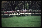view [The Museum of Fine Arts, Houston]: museum gardens: tulips and azaleas. digital asset: [The Museum of Fine Arts, Houston]: museum gardens: tulips and azaleas.: 1993 Mar.