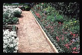 view [John Sweeney Mellinger Garden]: facing west from the gravel path: beds in the cutting garden, featuring a close-up of white penstemon, pink petunias, and yarrow (achillea). digital asset: [John Sweeney Mellinger Garden]: facing west from the gravel path: beds in the cutting garden, featuring a close-up of white penstemon, pink petunias, and yarrow (achillea).: 1985.