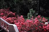 view [Rienzi]: view to lower garden with 'Judge Solomon' azaleas. digital asset: [Rienzi]: view to lower garden with 'Judge Solomon' azaleas.: 1985.