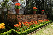 view [Royal Tulip Gardens]: the bed of tulips is interspersed with shaped boxwood with a pierced brick wall behind. digital asset: [Royal Tulip Gardens]: the bed of tulips is interspersed with shaped boxwood with a pierced brick wall behind.: 2011 Mar.