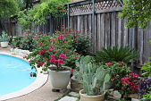 view [The Hylands]: The poolside garden with knock out roses in the raised bed. digital asset: [The Hylands]: The poolside garden with knock out roses in the raised bed.: 2014 June 7