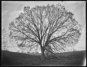 view [Welbourne]: a large elm below Welbourne. digital asset: [Welbourne] [glass negative]: a large elm below Welbourne.