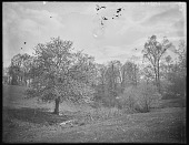view [Miscellaneous Images in Virginia]: apple tree in bloom at an unidentified location. digital asset: [Miscellaneous Images in Virginia] [glass negative]: apple tree in bloom at an unidentified location.