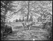 "view [Pelham]: cow near ""snake"" fence. digital asset: [Pelham] [glass negative]: cow near ""snake"" fence."