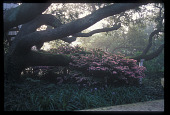 view [Meg and Bill Campbell Garden]: early morning mist with oak tree and azaleas. digital asset: [Meg and Bill Campbell Garden]: early morning mist with oak tree and azaleas.: 2008 May.