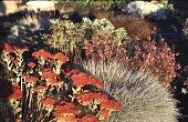 view [Hofius Garden, Sequim, Washington]: the perennial border: a close-up of Sedum 'Autumn Joy' and blue fescue (Festuca ovina). digital asset: [Hofius Garden, Sequim, Washington]: the perennial border: a close-up of Sedum 'Autumn Joy' and blue fescue (Festuca ovina).: 1998 Oct.