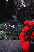 view [Helene Schoen Garden]: red rhododendron highlighted by a blue conifer. digital asset: [Helene Schoen Garden]: red rhododendron highlighted by a blue conifer.: 1998 May.