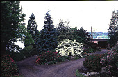 view [Elverhøj]: driveway east of house, showing Vibernum plicatum f. tomentosum. digital asset: [Elverhøj]: driveway east of house, showing Vibernum plicatum f. tomentosum.: 2000 May.