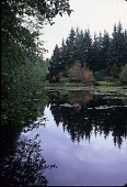 view [Welch Sanctuary]: the stand of old growth conifers as backdrop to a mixed planting of trees, all reflected in the pond. digital asset: [Welch Sanctuary] [slide]: the stand of old growth conifers as backdrop to a mixed planting of trees, all reflected in the pond.