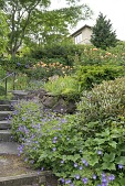 view [Green Garden]: blue geraniums and coral roses in the lowest tier of the perennial garden. digital asset: [Green Garden]: blue geraniums and coral roses in the lowest tier of the perennial garden.: 2017 Jun.