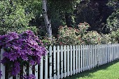 view [Tatterdemalion]: the white picket fence covered with clematis and roses. digital asset: [Tatterdemalion]: the white picket fence covered with clematis and roses.: 1998 Jun.