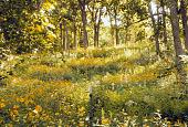 view [Windwood Garden]: oak, maple and woodland perennials in woodland garden area. digital asset: [Windwood Garden]: oak, maple and woodland perennials in woodland garden area.: 2008 Aug.