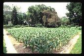 view [Kanawha Salines]: plot of corn. digital asset: [Kanawha Salines]: plot of corn.: 1995 Jun.