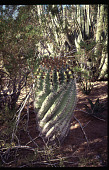 view Benton House: cactus garden, twisted barrell cactus in foreground. digital asset: Benton House: cactus garden, twisted barrell cactus in foreground.: 1995 Apr. 1