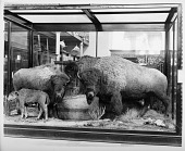 view American Buffaloes, Mammal Exhibit, U.S. National Museum Building digital asset number 1