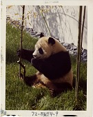 view Giant Panda Ling-Ling at National Zoological Park digital asset number 1